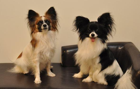 Самые маленькие породы собак, изображение №5