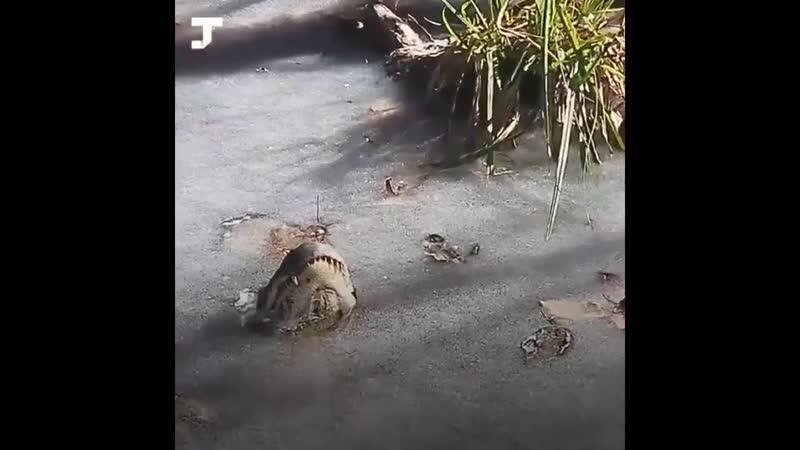 Аллигаторы в анабиозе