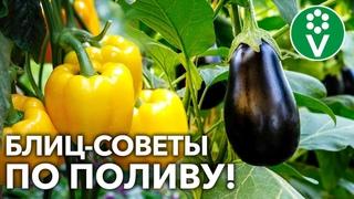 ПОЛИВАЙТЕ ПЕРЦЫ И БАКЛАЖАНЫ ТОЛЬКО ТАК! Актуальные рекомендации для большого урожая!