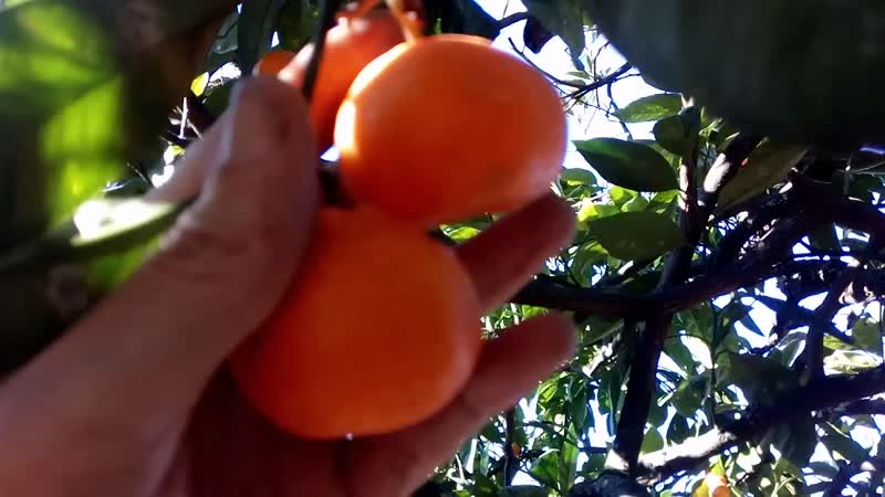 Заброшенная мандариновая плантация