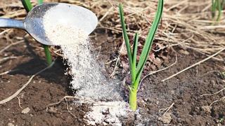 Сделайте это с чесноком в апреле мае для хорошего урожая! Как ухаживать за озимым чесноком весной?