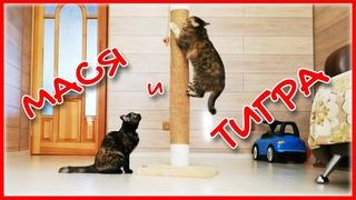 Смешные кошки | Мася в гостях у Тигры | Funny Cats 2020 NEW